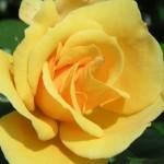 zoì rosa gialla